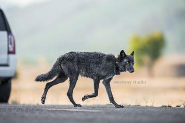 Westway-Studio-Jackson-Yellowstone-Bozeman-064