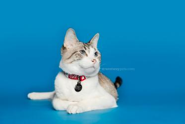 WestwayStudio-Cat-Portrait-Studio-Kingman03