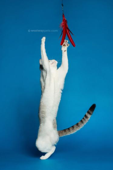 WestwayStudio-Cat-Portrait-Studio-Kingman05