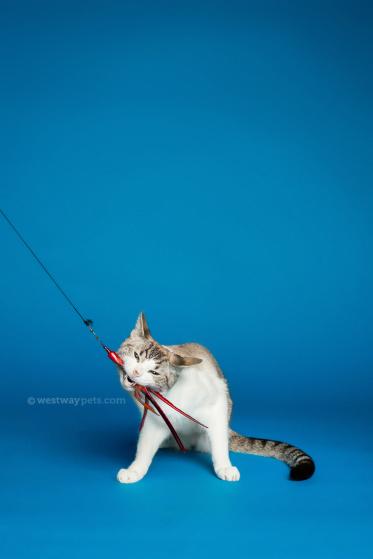 WestwayStudio-Cat-Portrait-Studio-Kingman07