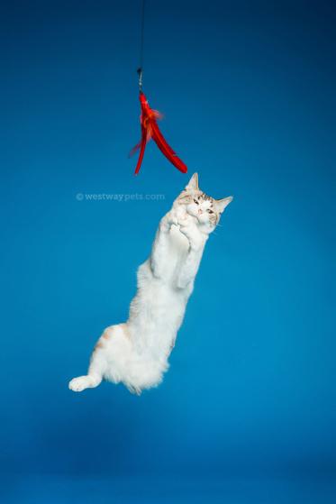 WestwayStudio-Cat-Portrait-Studio-Kingman08