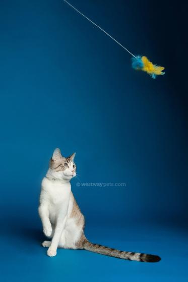 WestwayStudio-Cat-Portrait-Studio-Kingman09