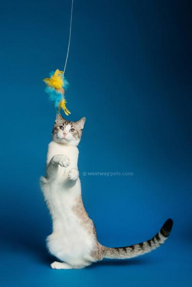 WestwayStudio-Cat-Portrait-Studio-Kingman10