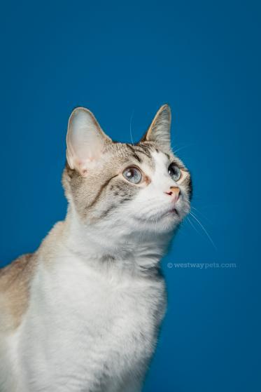 WestwayStudio-Cat-Portrait-Studio-Kingman11