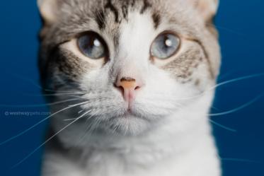 WestwayStudio-Cat-Portrait-Studio-Kingman13