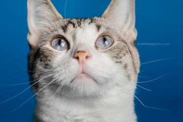 WestwayStudio-Cat-Portrait-Studio-Kingman14