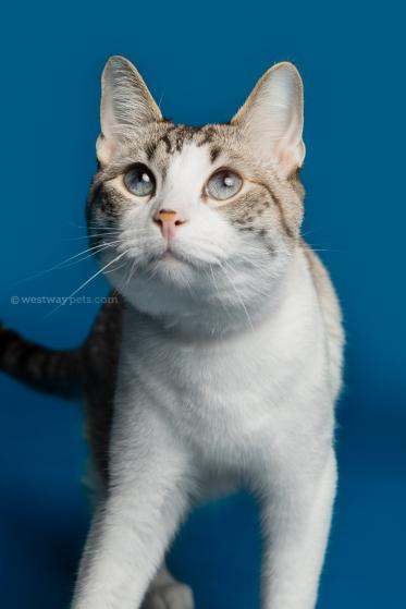 WestwayStudio-Cat-Portrait-Studio-Kingman24