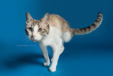 WestwayStudio-Cat-Portrait-Studio-Kingman26