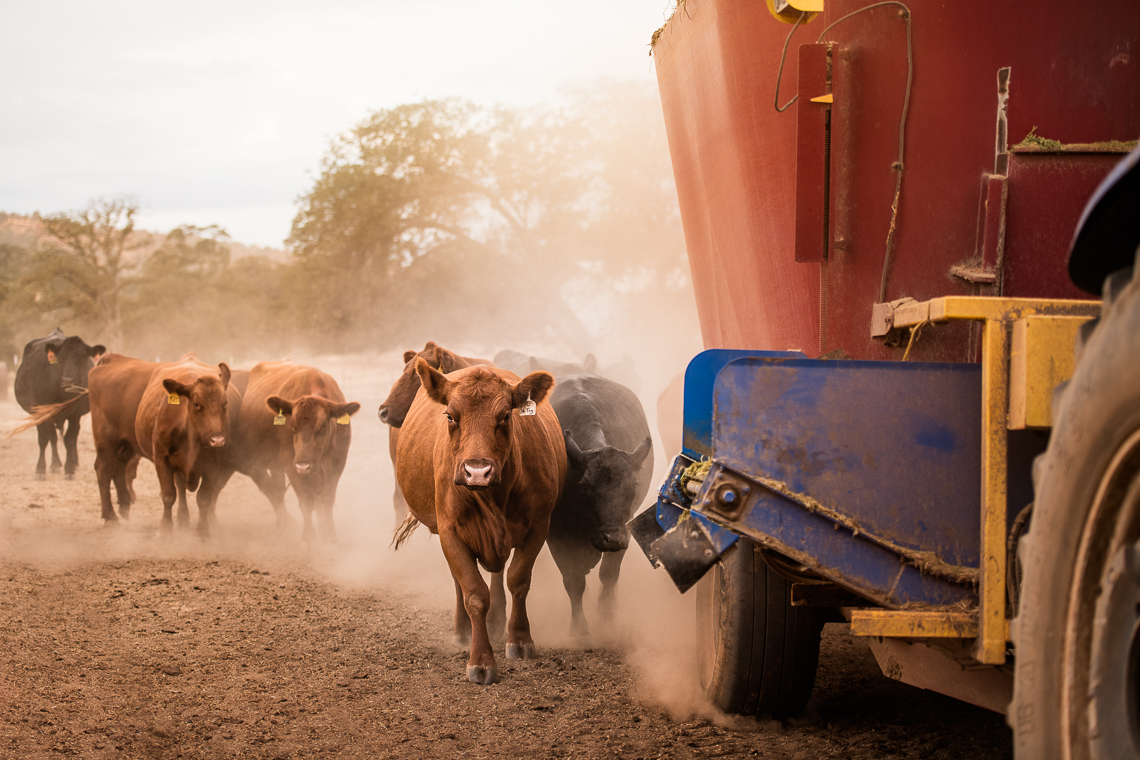 cows-food-farm-eat-emmert-commercial-livestock-photographer-westway-studio-01