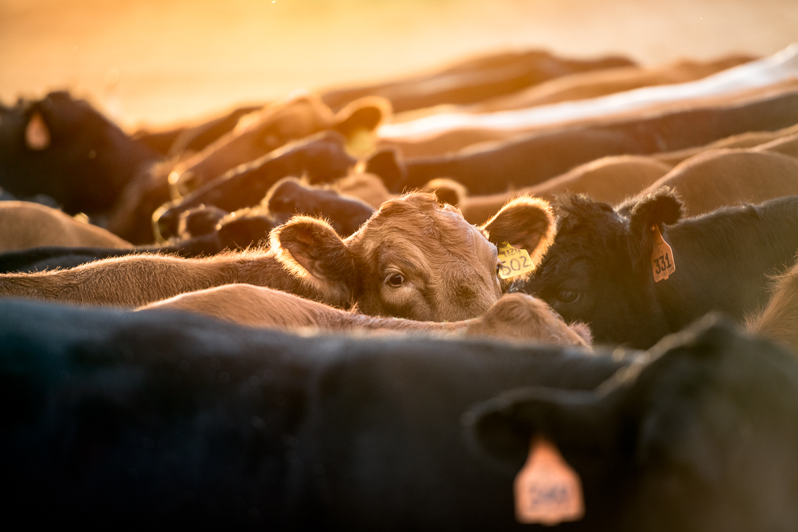 cows-food-farm-eat-emmert-commercial-livestock-photographer-westway-studio-05