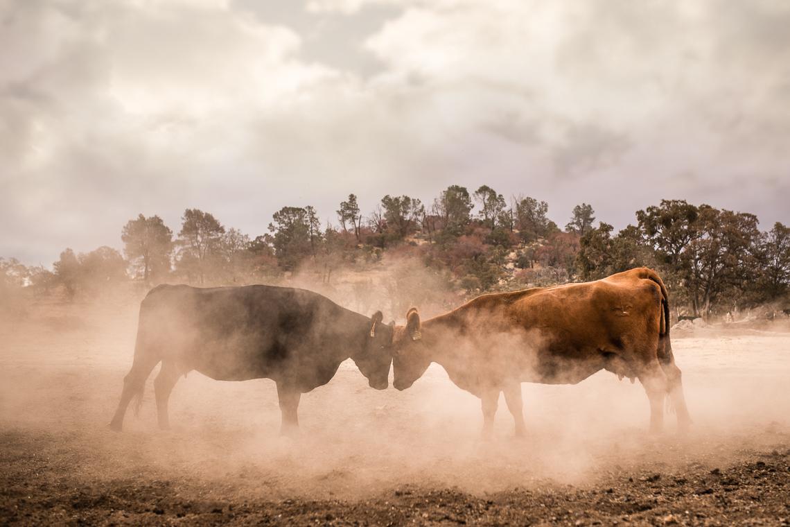 cows-food-farm-eat-emmert-commercial-livestock-photographer-westway-studio-07
