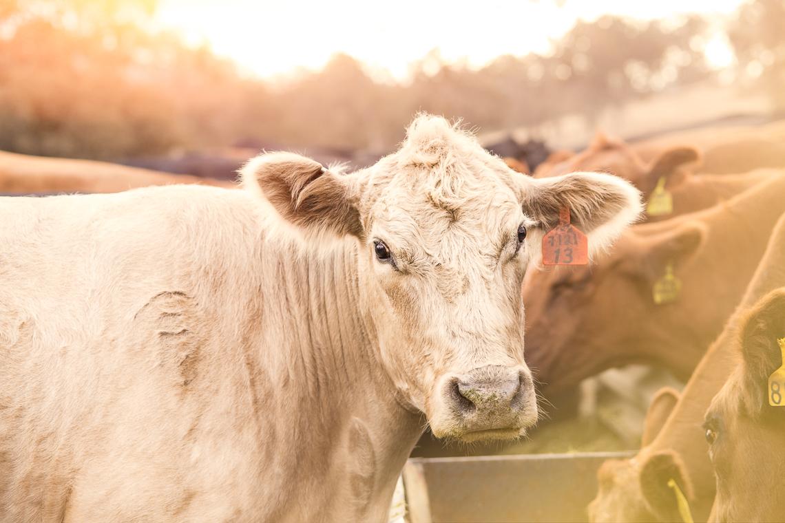 cows-food-farm-eat-emmert-commercial-livestock-photographer-westway-studio-08