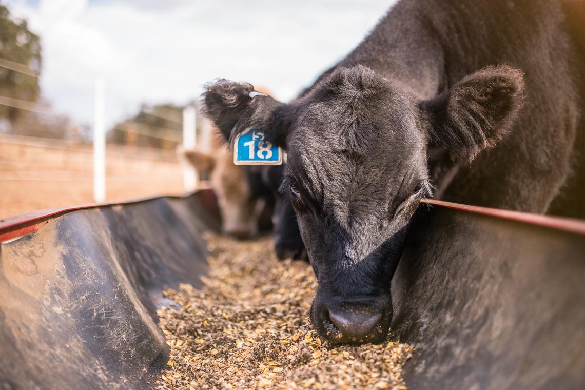 cows-food-farm-eat-emmert-commercial-livestock-photographer-westway-studio-09
