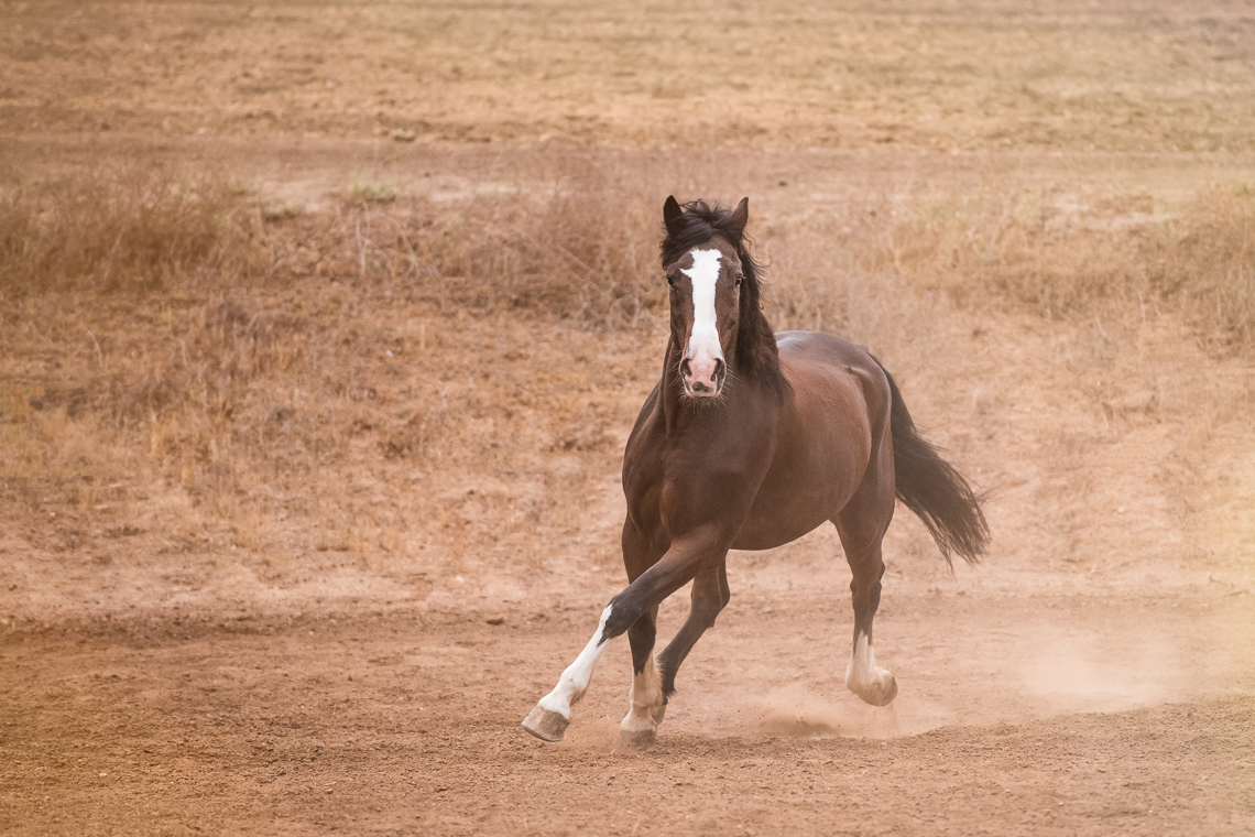 horse-supplement-showbloom-emmert-commercial-horse-livestock-photographer-westway-studio-41