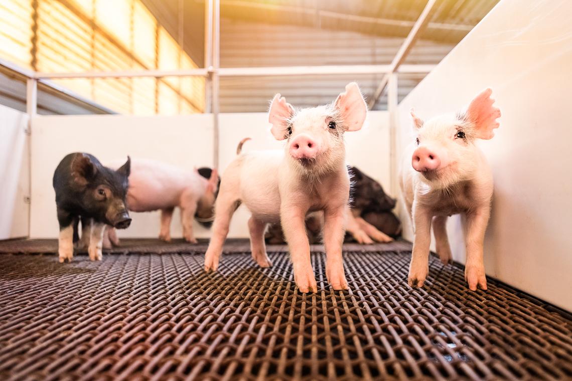 pig-swine-supplement-show-emmert-commercial-livestock-photographer-westway-studio-15