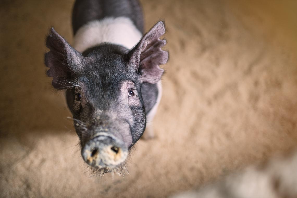 pig-swine-supplement-show-emmert-commercial-livestock-photographer-westway-studio-16