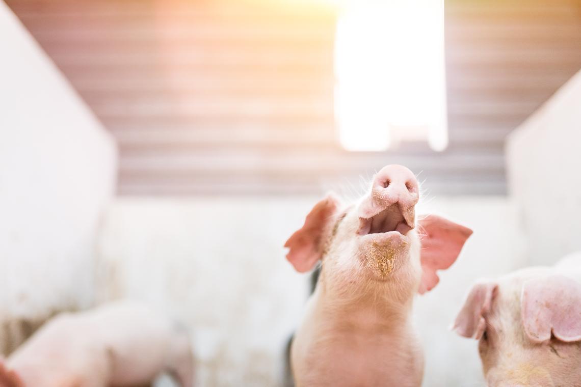 pig-swine-supplement-show-emmert-commercial-livestock-photographer-westway-studio-20