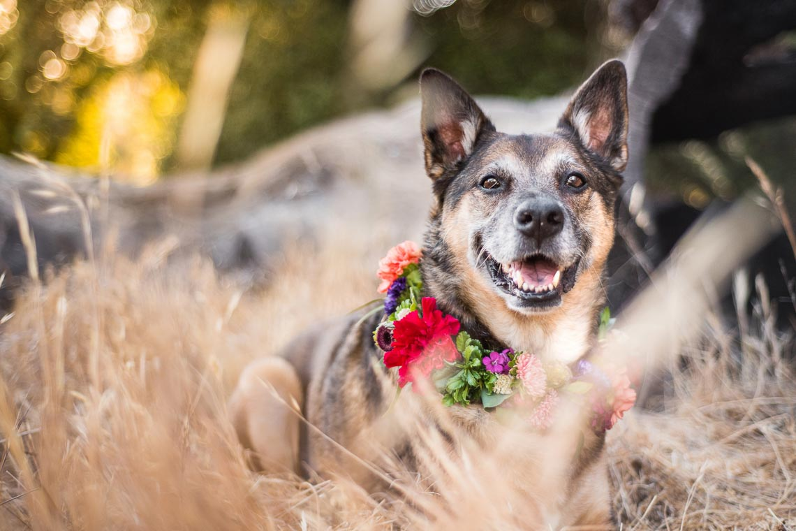 Westway-Studio-senior-german-shepherd-mix-17
