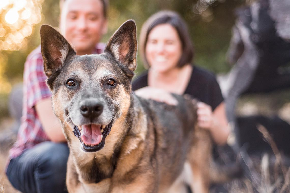Westway-Studio-senior-german-shepherd-mix-27