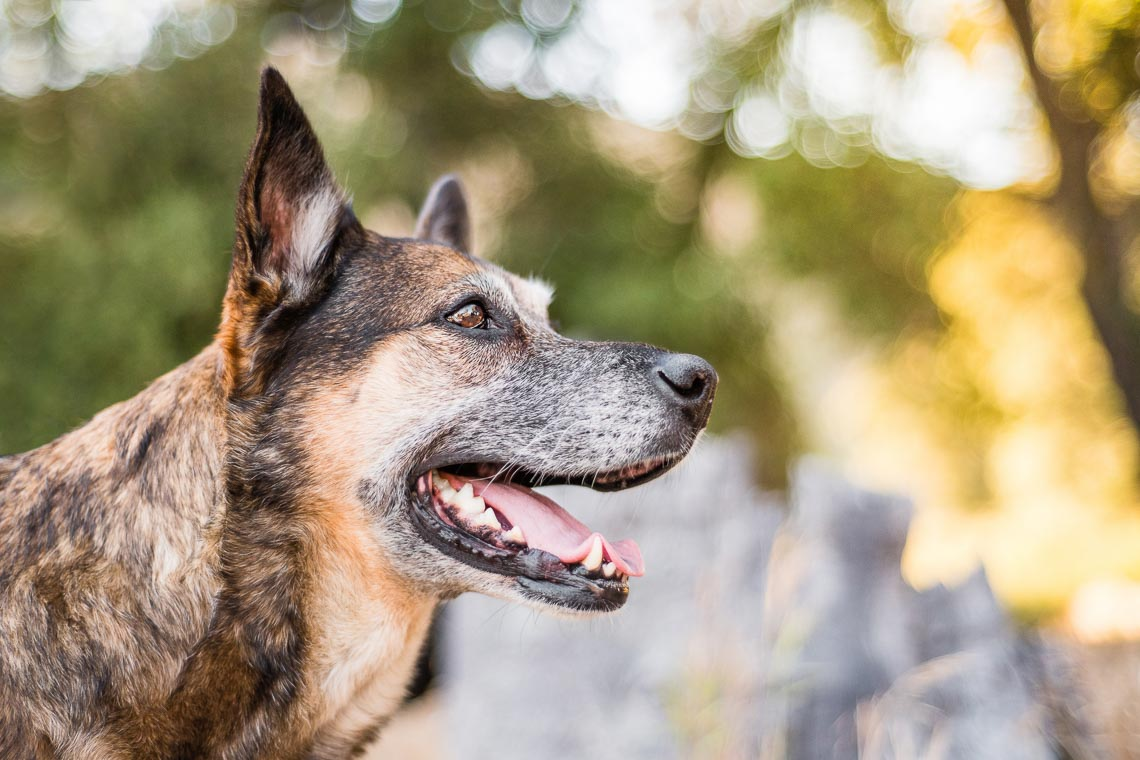 Westway-Studio-senior-german-shepherd-mix-28