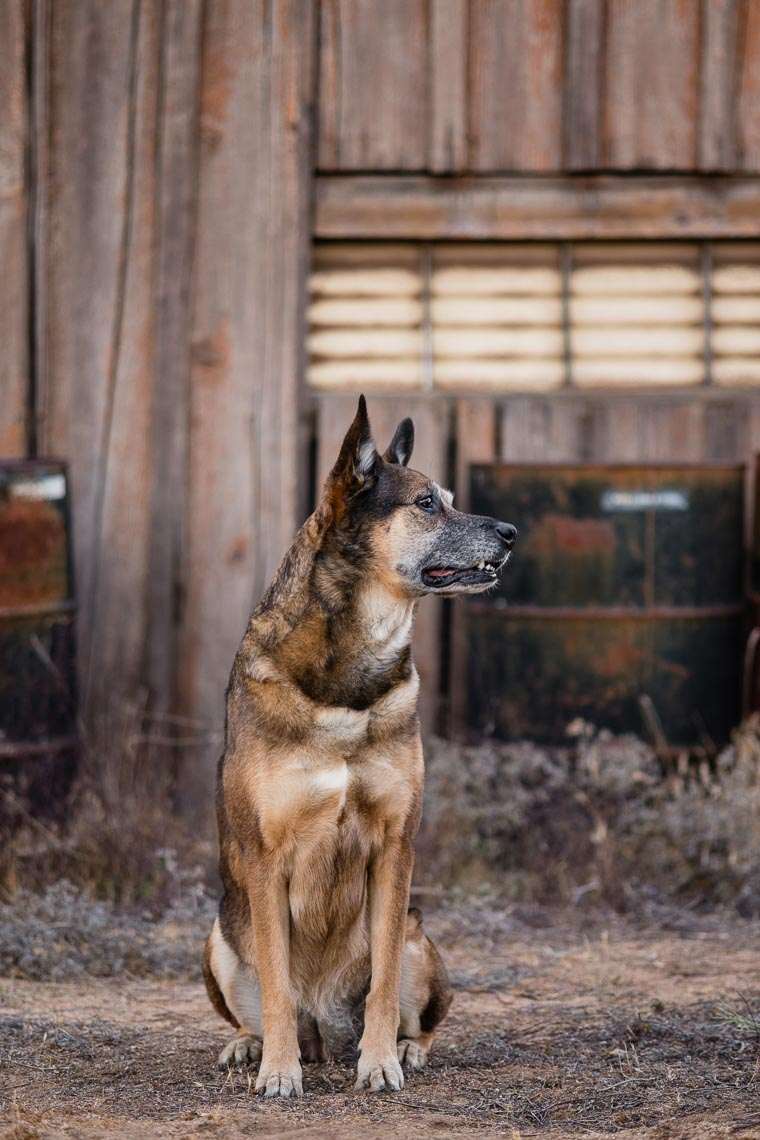 Westway-Studio-senior-german-shepherd-mix-30