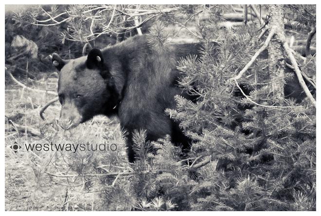 Wyoming Black Bear © Westway Studio