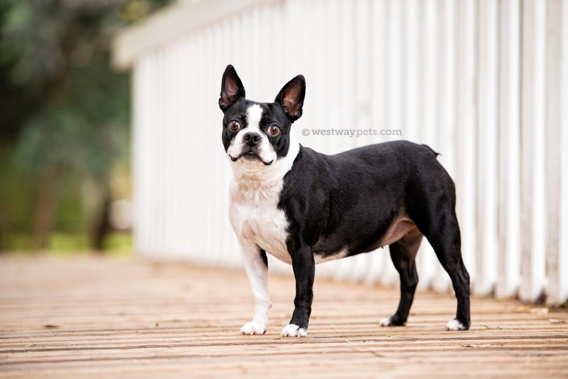 westway-studio-penelopee-pug-kloie-boston-terrier-old-poway-park-02