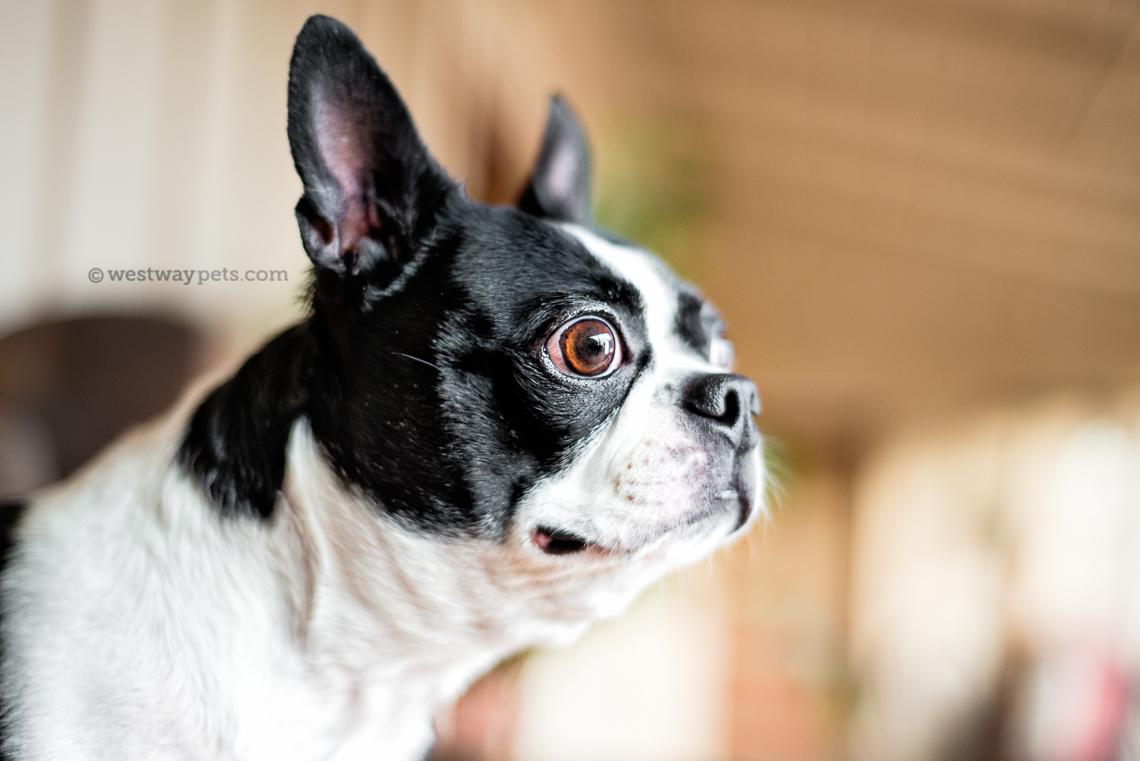 westway-studio-penelopee-pug-kloie-boston-terrier-old-poway-park-05