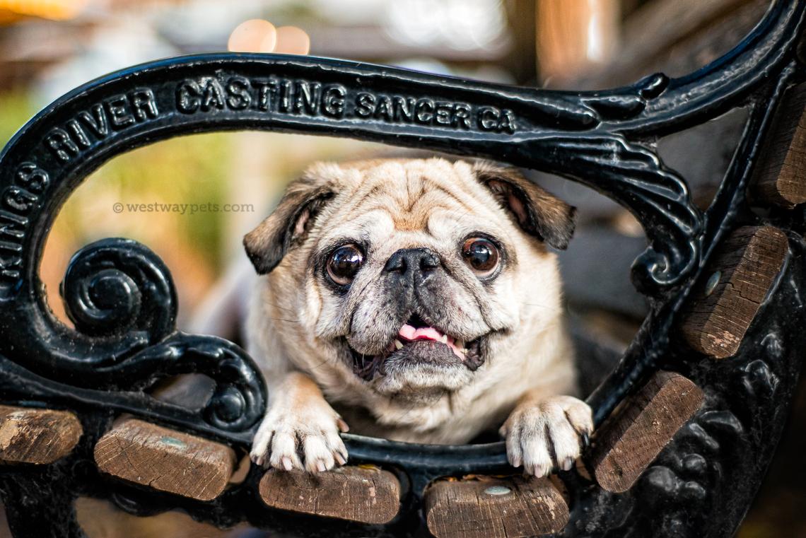 westway-studio-penelopee-pug-kloie-boston-terrier-old-poway-park-07