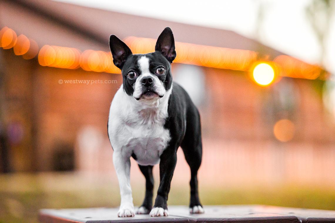 westway-studio-penelopee-pug-kloie-boston-terrier-old-poway-park-17