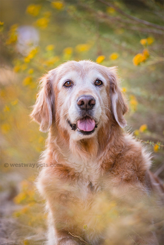 westway studio golden retriever penasquitos canyon dog portrait