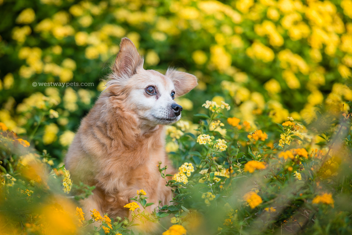Westway Studio - senior dog white face in flowers