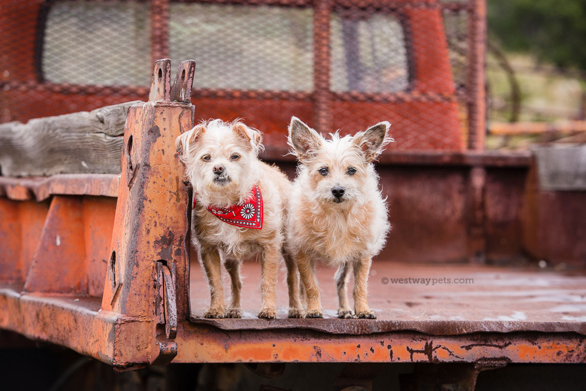 Westway Studio Nixon and Lola - country dogs with bandana red truck