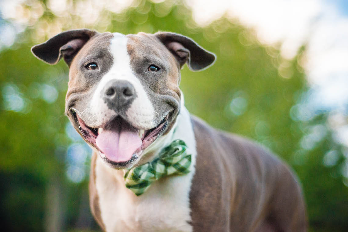 5 reasons this san diego pet photographer loves pit bulls. Black Bedroom Furniture Sets. Home Design Ideas